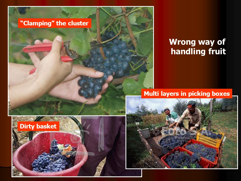 Wrong way of handling fruit Dirty basket Clamping the cluster Multi layers in picking boxes