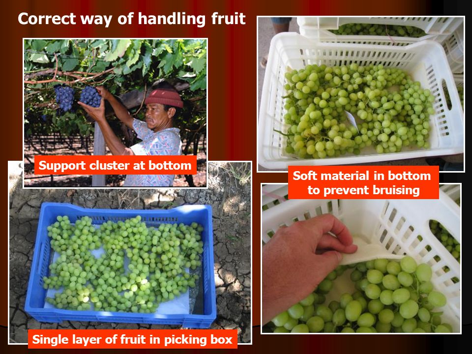 Correct way of handling fruit Support cluster at bottom Single layer of fruit in picking box Soft material in bottom to prevent bruising