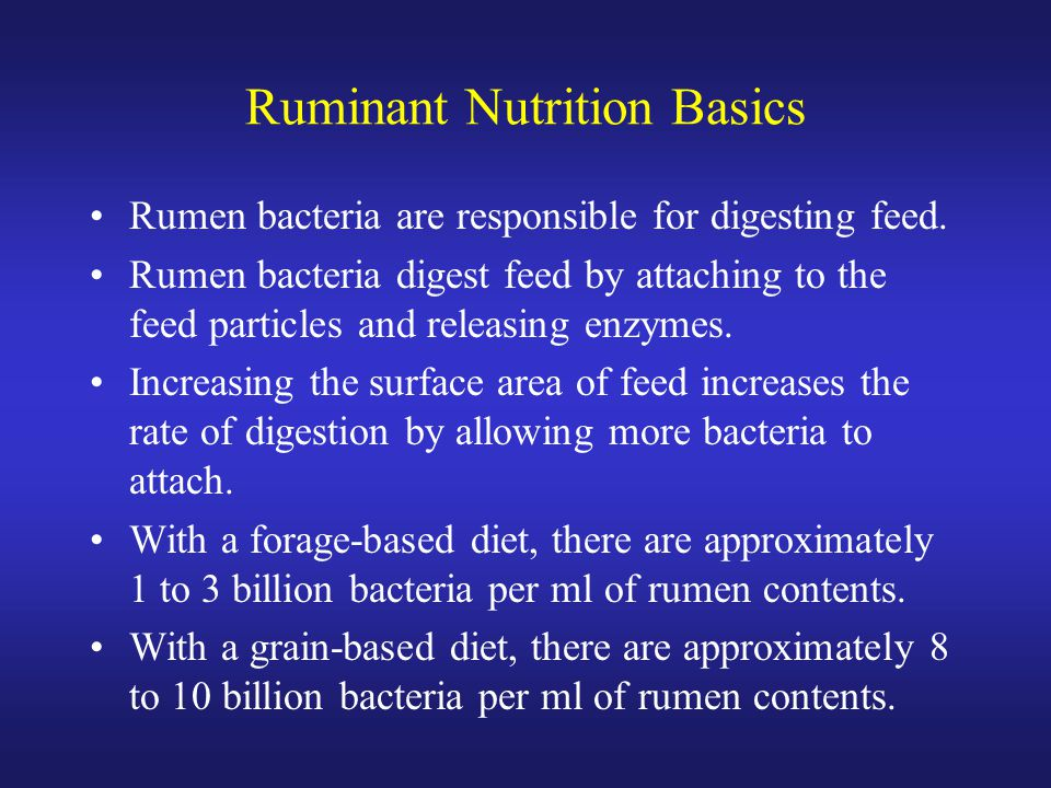 Ruminant Nutrition Basics Rumen bacteria are responsible for digesting feed. Rumen bacteria digest feed by attaching to the feed particles and releasi