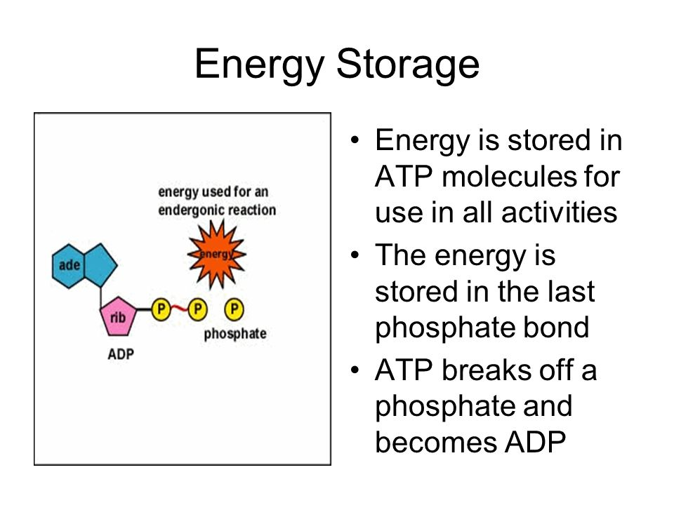 Energy Storage Energy is stored in ATP molecules for use in all activities The energy is stored in the last phosphate bond ATP breaks off a phosphate and becomes ADP