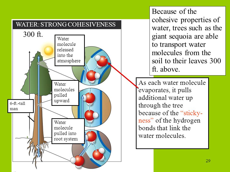 29 WATER: STRONG COHESIVENESS Because of the cohesive properties of water, trees such as the giant sequoia are able to transport water molecules from the soil to their leaves 300 ft.