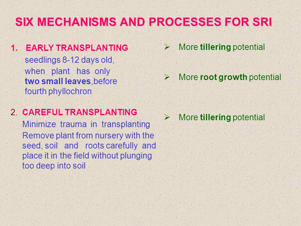 SIX MECHANISMS AND PROCESSES FOR SRI 1.EARLY TRANSPLANTING seedlings 8-12 days old, when plant has only two small leaves,before fourth phyllochron 2.