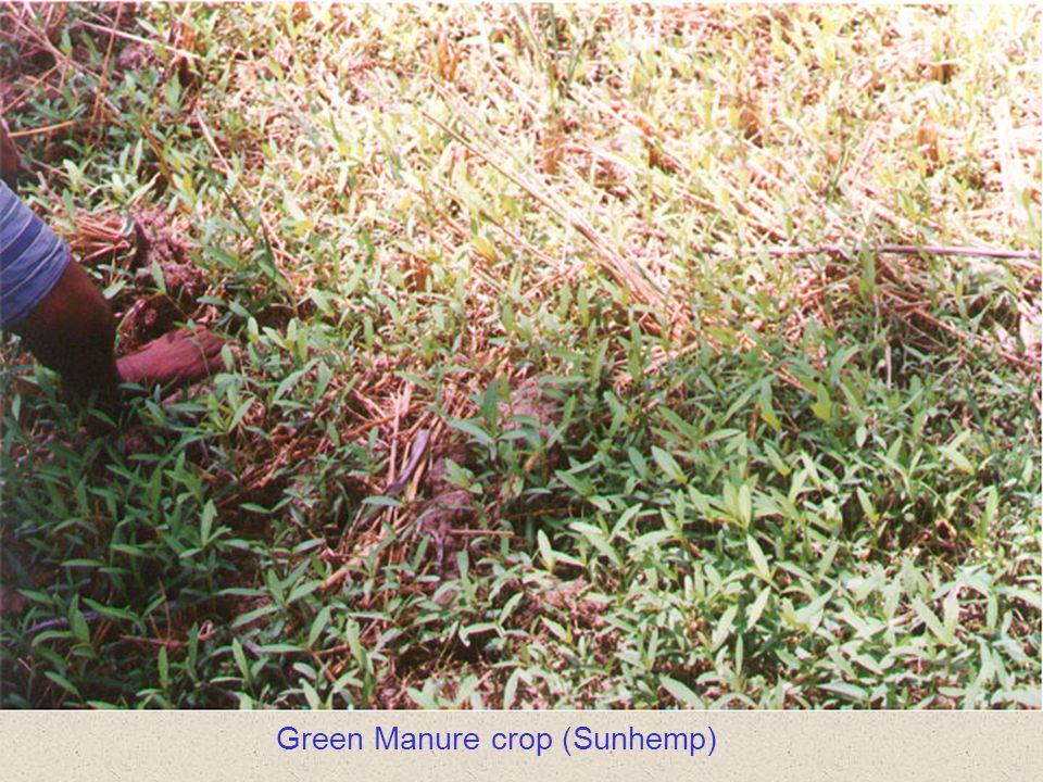 Green Manure crop (Sunhemp)