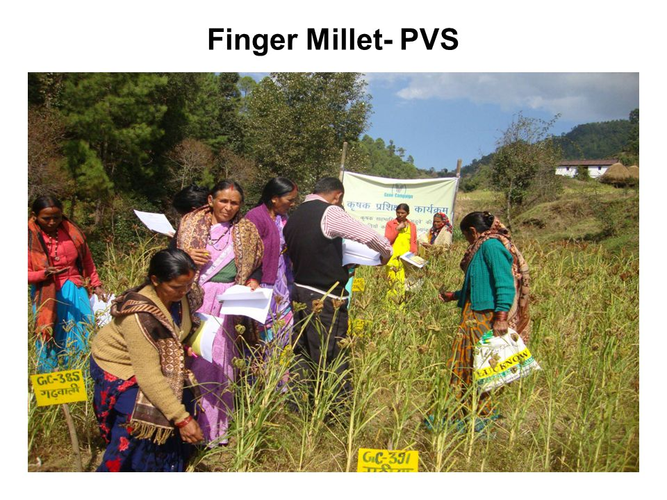 Finger Millet- PVS