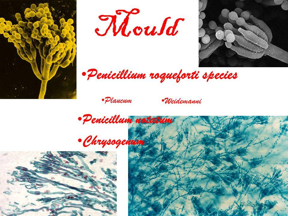 Mould Penicillium roqueforti species Plaucum Weidemanni Penicillum notatum Chrysogenum