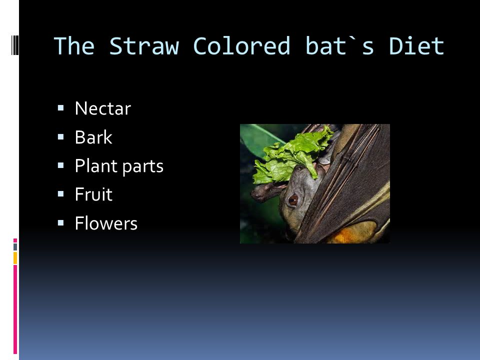 The Straw Colored bat`s Diet  Nectar  Bark  Plant parts  Fruit  Flowers