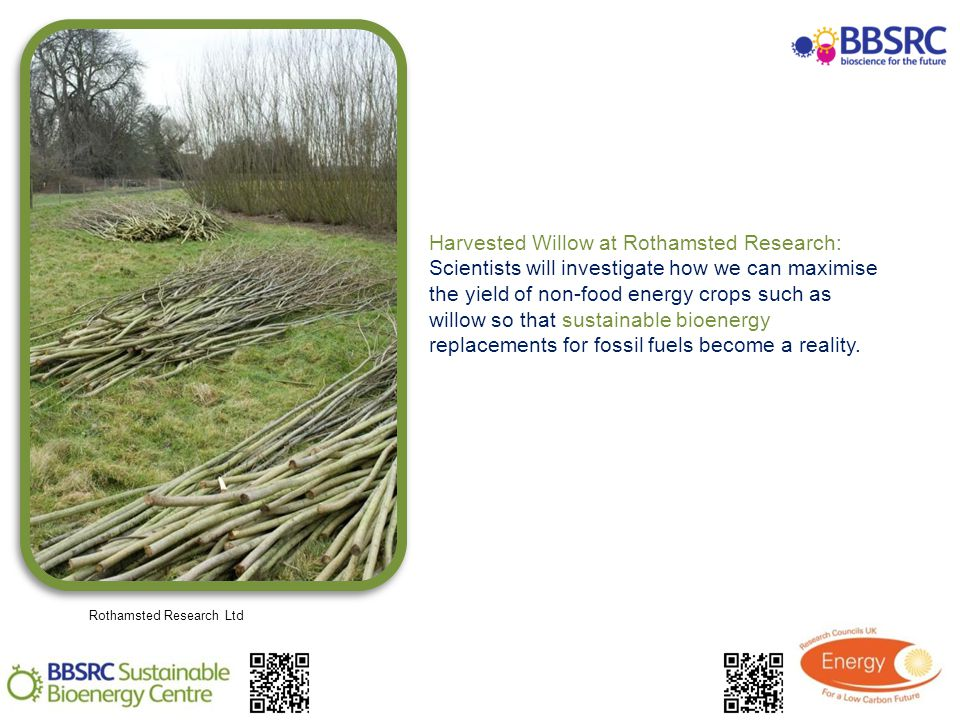 Harvested Willow at Rothamsted Research: Scientists will investigate how we can maximise the yield of non-food energy crops such as willow so that sustainable bioenergy replacements for fossil fuels become a reality.