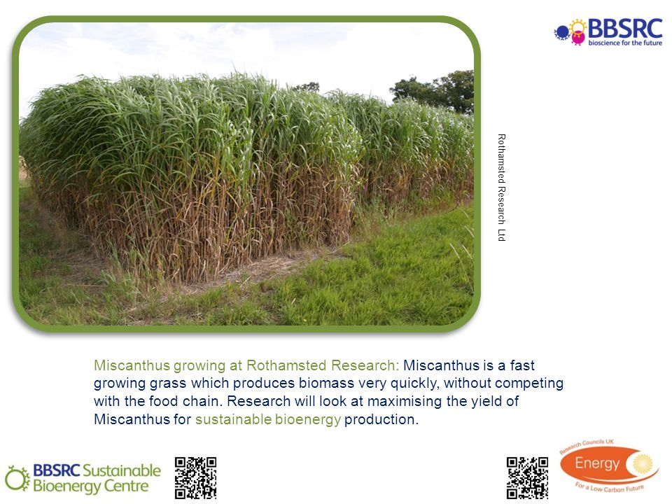 Miscanthus growing at Rothamsted Research: Miscanthus is a fast growing grass which produces biomass very quickly, without competing with the food chain.