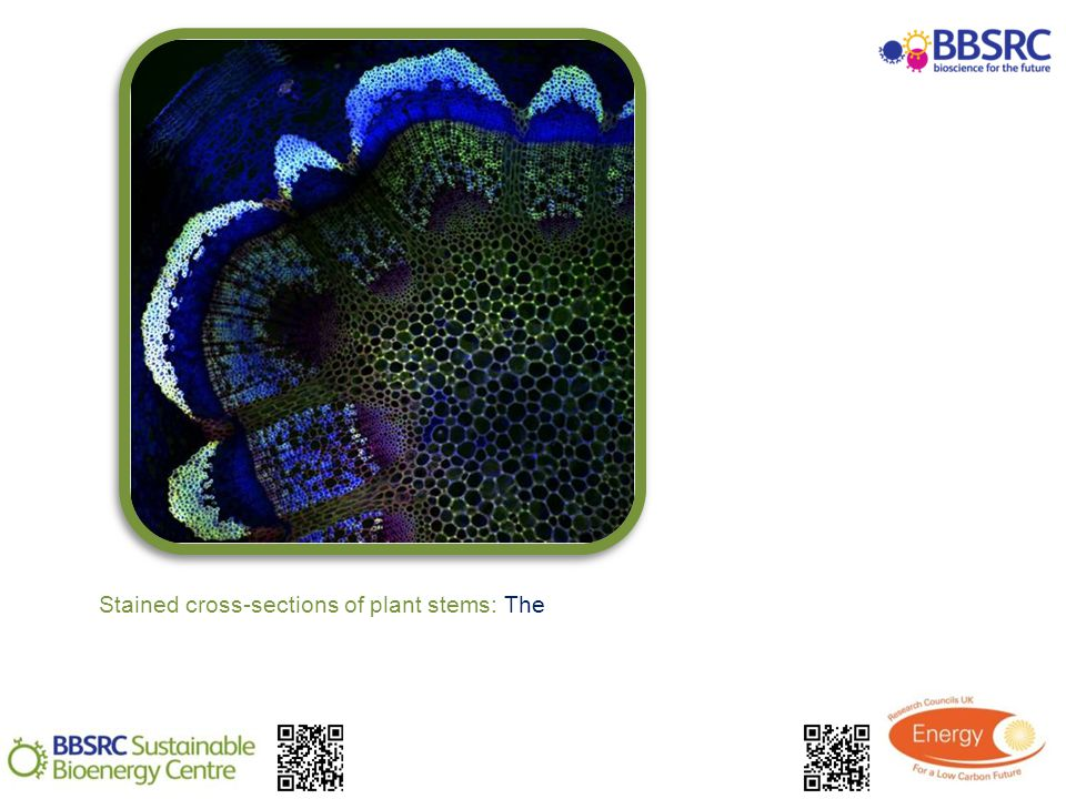 Stained cross-sections of plant stems: The