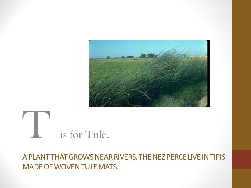 A PLANT THAT GROWS NEAR RIVERS. THE NEZ PERCE LIVE IN TIPIS MADE OF WOVEN TULE MATS. T is for Tule.