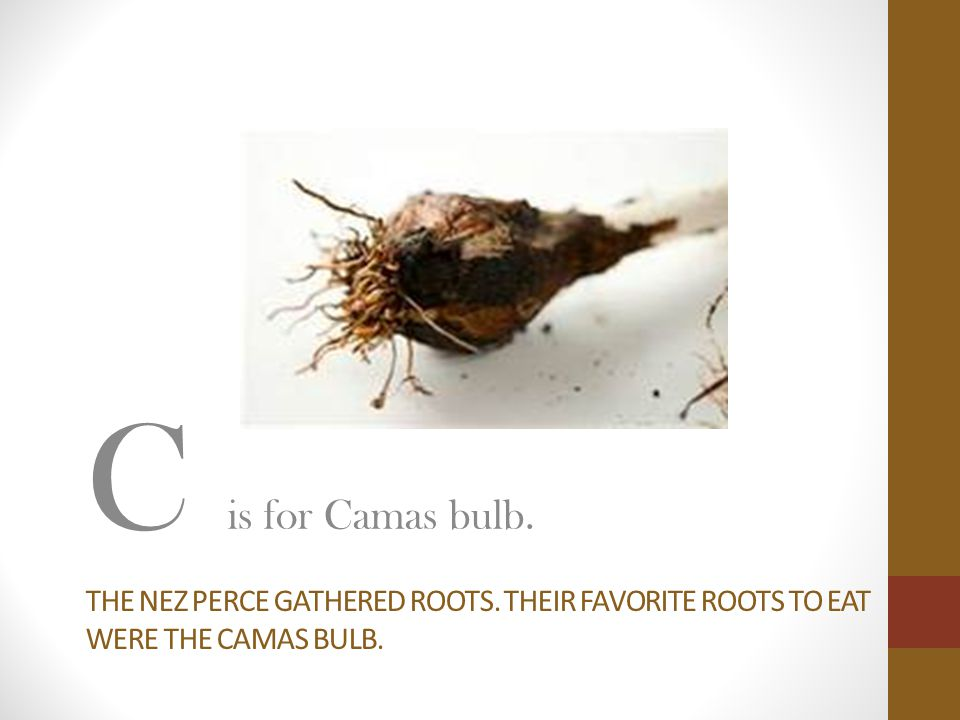 THE NEZ PERCE GATHERED ROOTS. THEIR FAVORITE ROOTS TO EAT WERE THE CAMAS BULB. C is for Camas bulb.