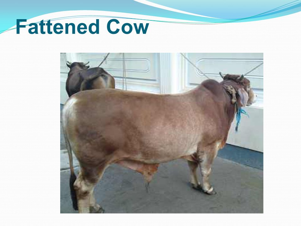 Fattened Cow