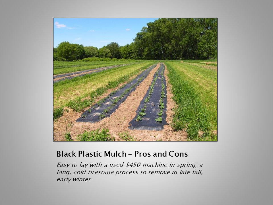 Black Plastic Mulch – Pros and Cons Easy to lay with a used $450 machine in spring; a long, cold tiresome process to remove in late fall, early winter