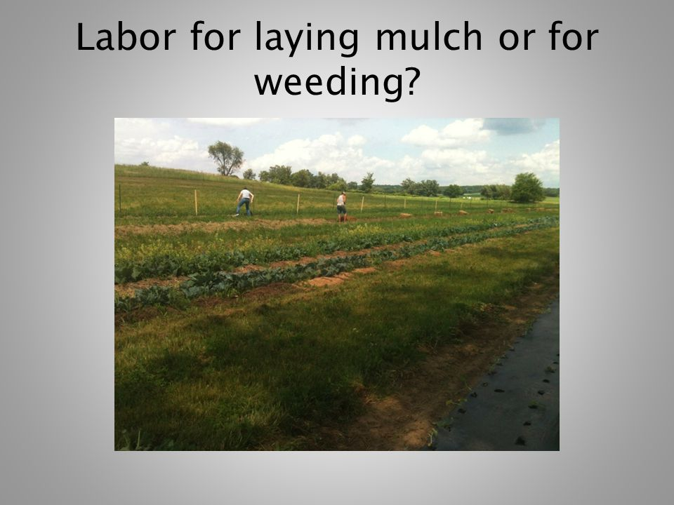 Two-year Comparison Used all 3 mulch types in 12 crops Conduced field trial with tomatoes (high traffic) and Brussels sprouts Observed weed suppression Estimated organic matter rate of decomposition and availability to soil Watched for incidence of plant disease and tendency to volunteer