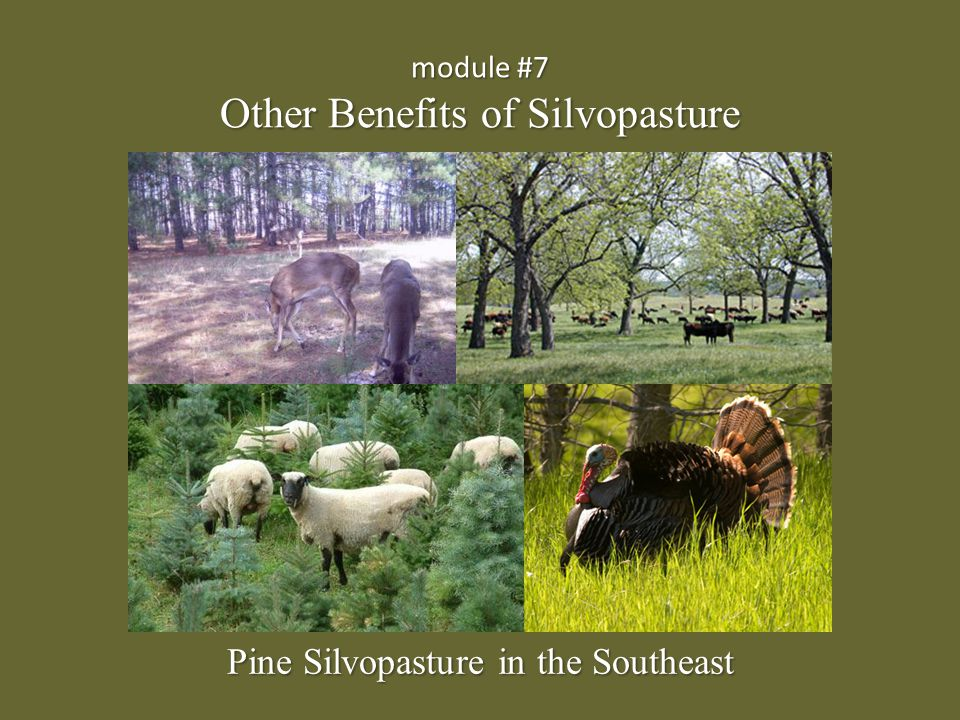 Additional benefits of silvopasture {Lecture 7} Slide: 2/12 A well-designed and managed silvopasture has added value:  Can provide habitat for quail, turkey, and other wildlife  Pine straw can be utilized/sold for landscaping and mulch  Enhances aesthetics and property value  Other tree species besides pines can be established (pecan, walnut, etc.) to provide alternative crops  Other livestock choices are also suitable for silvopasture