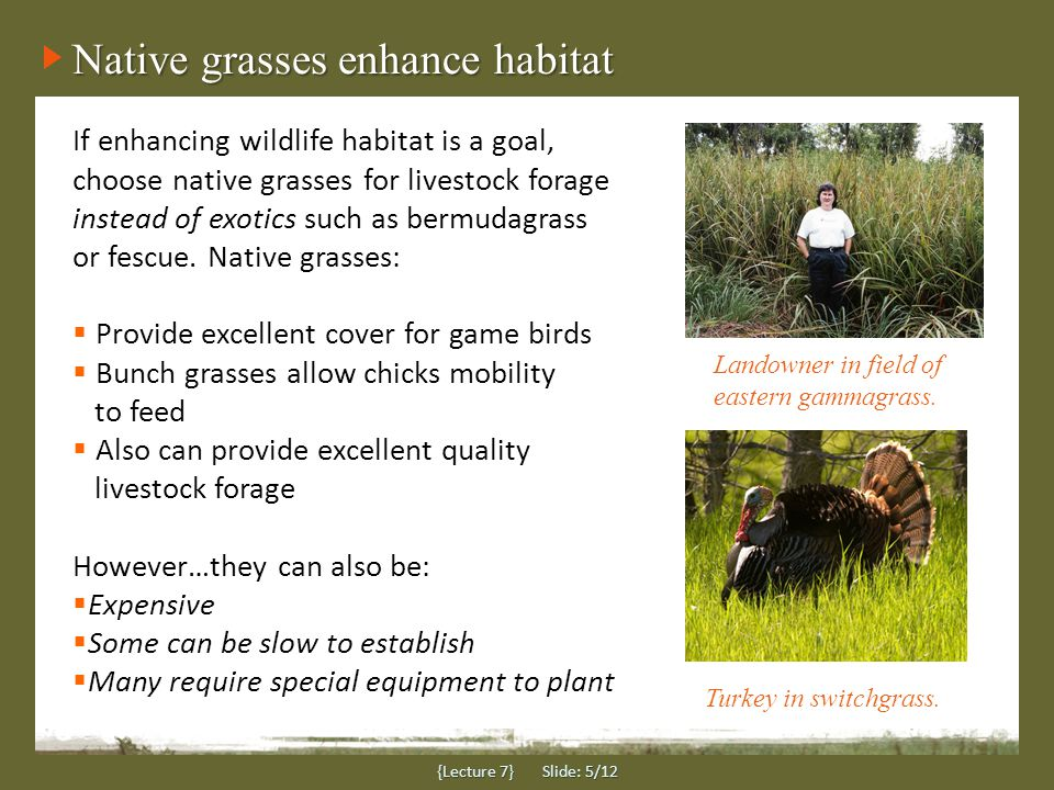 Native grasses enhance habitat {Lecture 7} Slide: 5/12 If enhancing wildlife habitat is a goal, choose native grasses for livestock forage instead of exotics such as bermudagrass or fescue.