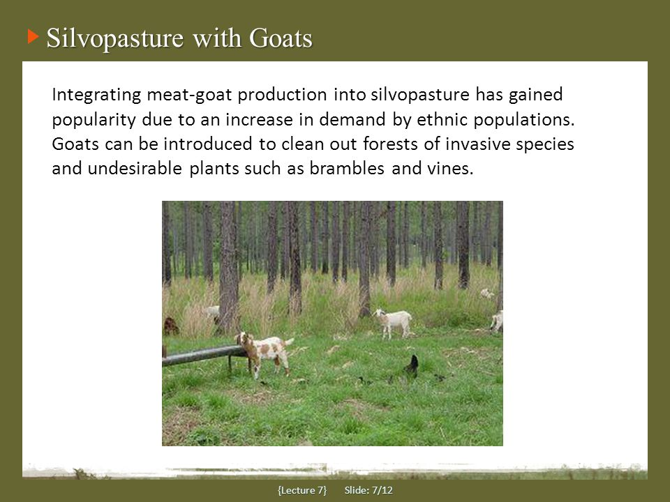 Silvopasture with Goats {Lecture 7} Slide: 7/12 Integrating meat-goat production into silvopasture has gained popularity due to an increase in demand by ethnic populations.