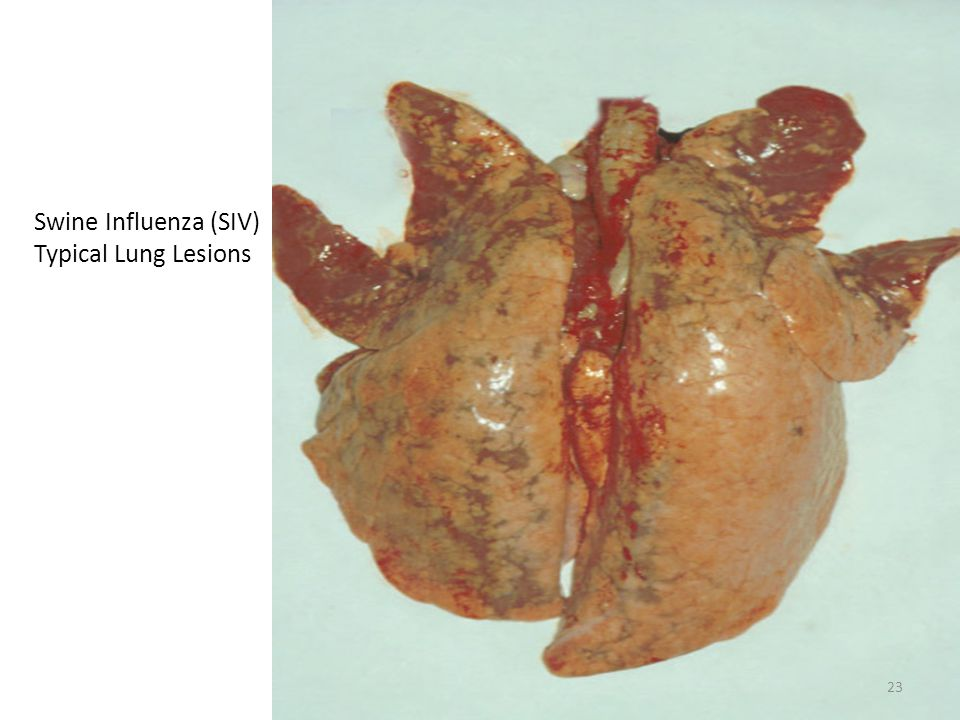 Swine Influenza (SIV) Typical Lung Lesions 23