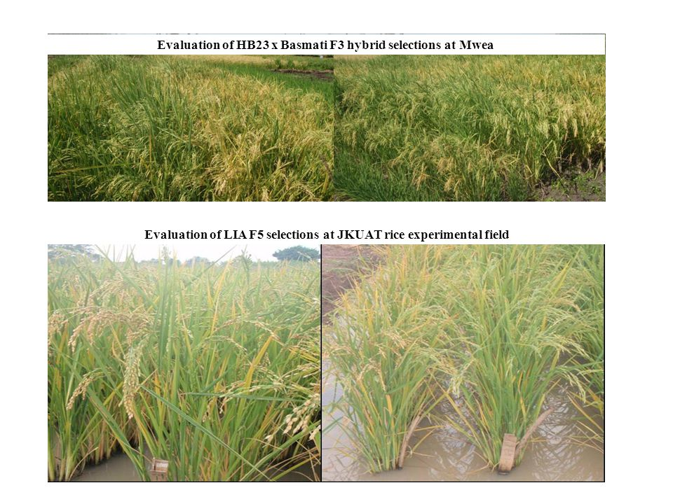 Evaluation of HB23 x Basmati F3 hybrid selections at Mwea Evaluation of LIA F5 selections at JKUAT rice experimental field