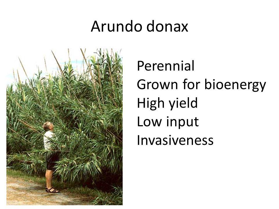 Arundo donax Perennial Grown for bioenergy High yield Low input Invasiveness