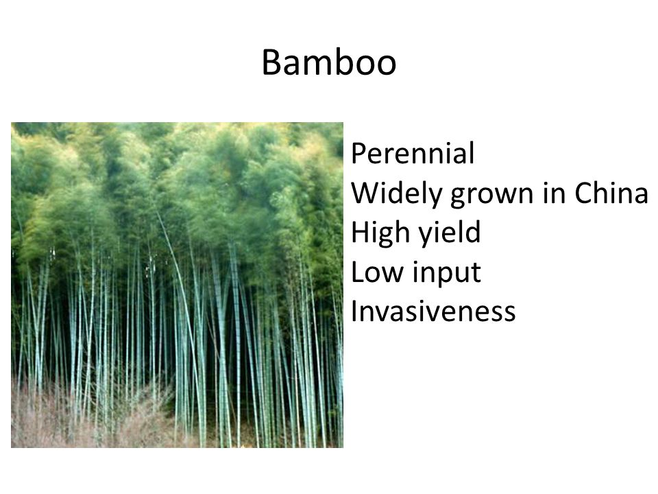 Bamboo Perennial Widely grown in China High yield Low input Invasiveness