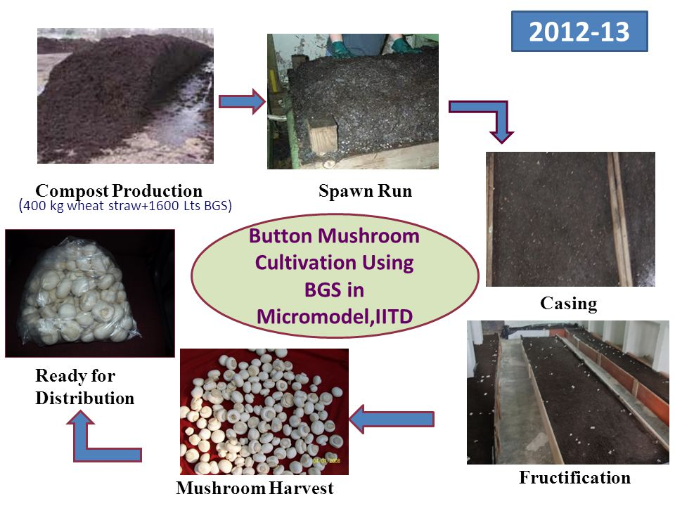 2012-13 ( 400 kg wheat straw+1600 Lts BGS) Compost ProductionSpawn Run Casing Fructification Mushroom Harvest Ready for Distribution Button Mushroom Cultivation Using BGS in Micromodel,IITD