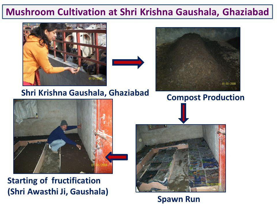 Mushroom Cultivation at Shri Krishna Gaushala, Ghaziabad Shri Krishna Gaushala, Ghaziabad Compost Production Spawn Run Starting of fructification (Shri Awasthi Ji, Gaushala)