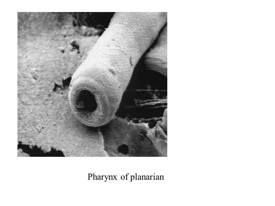 Pharynx of planarian