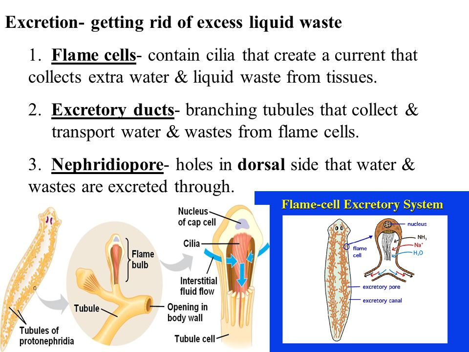 Excretion- getting rid of excess liquid waste 1.