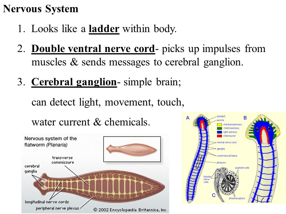 Nervous System 1. Looks like a ladder within body. 2. Double ventral nerve cord- picks up impulses from muscles & sends messages to cerebral ganglion.