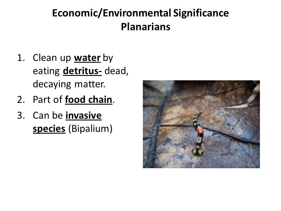 Economic/Environmental Significance Planarians 1.Clean up water by eating detritus- dead, decaying matter. 2.Part of food chain. 3.Can be invasive spe