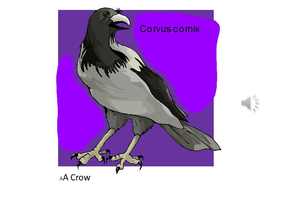 A A Crow