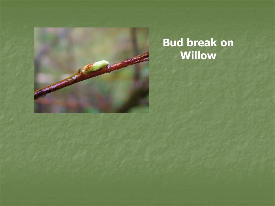 Bud break on Willow