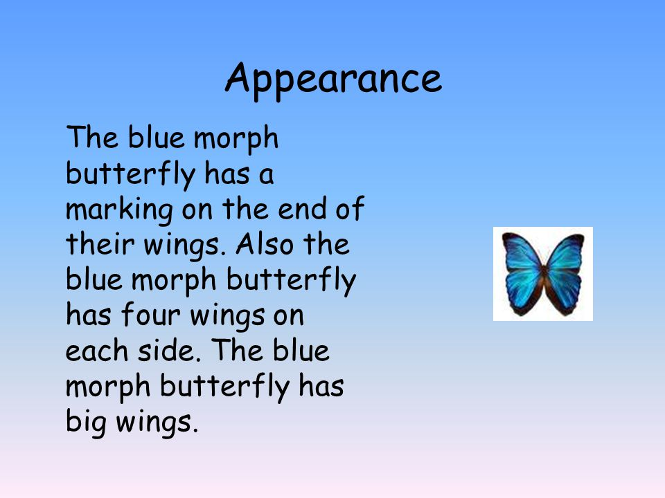 Appearance The blue morph butterfly has a marking on the end of their wings.