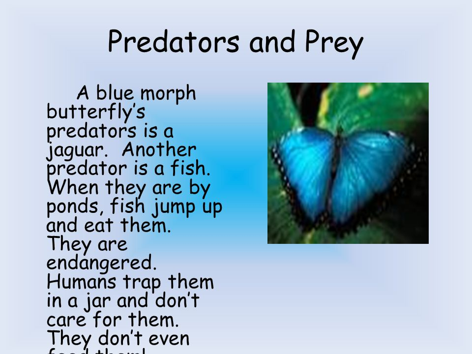 Adaptations The blue morph butterfly has to go through several changes to survive in the rainforest.