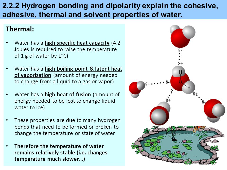 2.2.2 Hydrogen bonding and dipolarity explain the cohesive, adhesive, thermal and solvent properties of water. Thermal: Water has a high specific heat