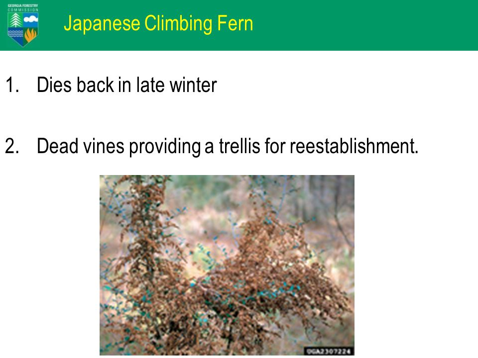 Japanese Climbing Fern 1.Dies back in late winter 2.Dead vines providing a trellis for reestablishment.
