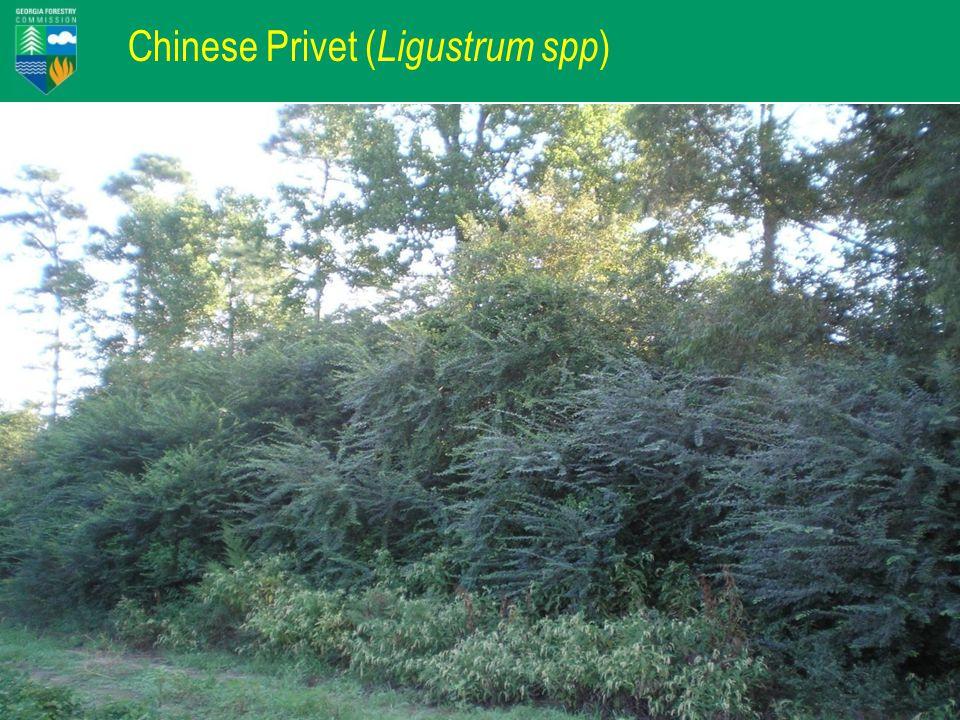 Chinese Privet ( Ligustrum spp )
