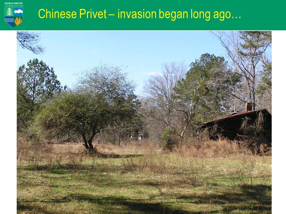 Chinese Privet – invasion began long ago…