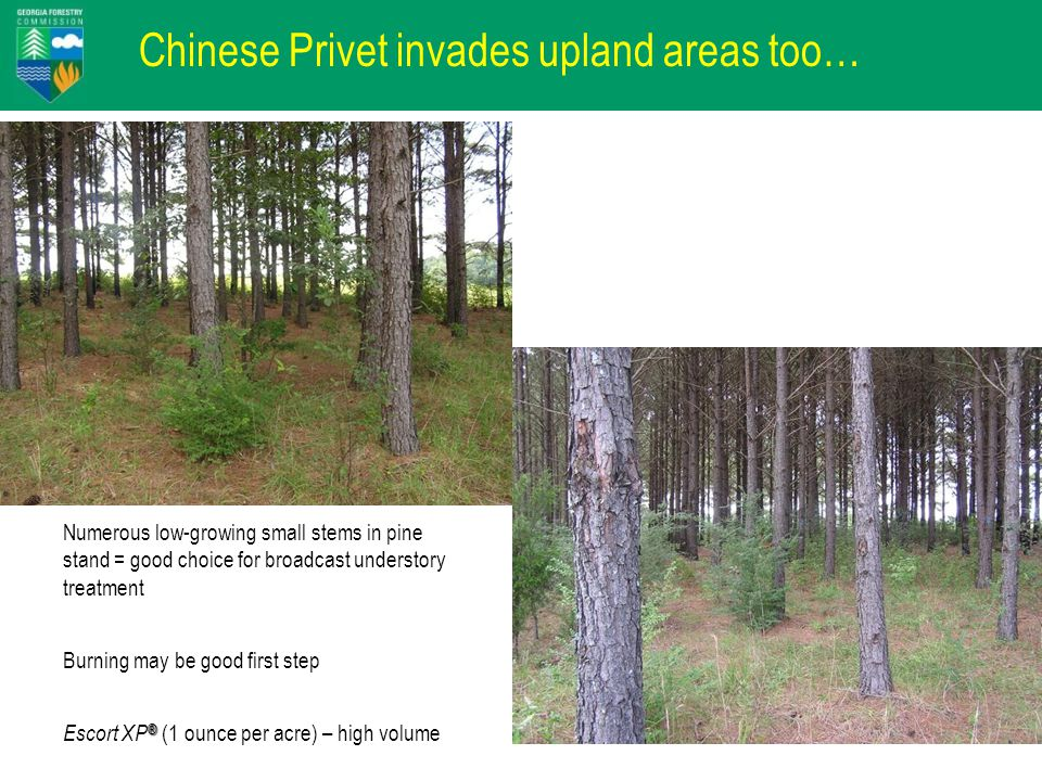 Chinese Privet invades upland areas too… Numerous low-growing small stems in pine stand = good choice for broadcast understory treatment Burning may be good first step ® Escort XP ® (1 ounce per acre) – high volume