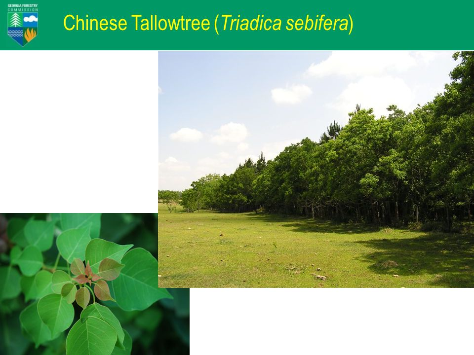 Chinese Tallowtree ( Triadica sebifera )
