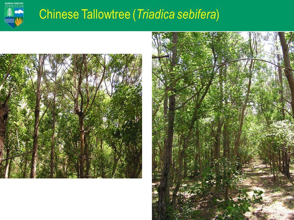 Chinese Tallowtree ( Triadica sebifera )