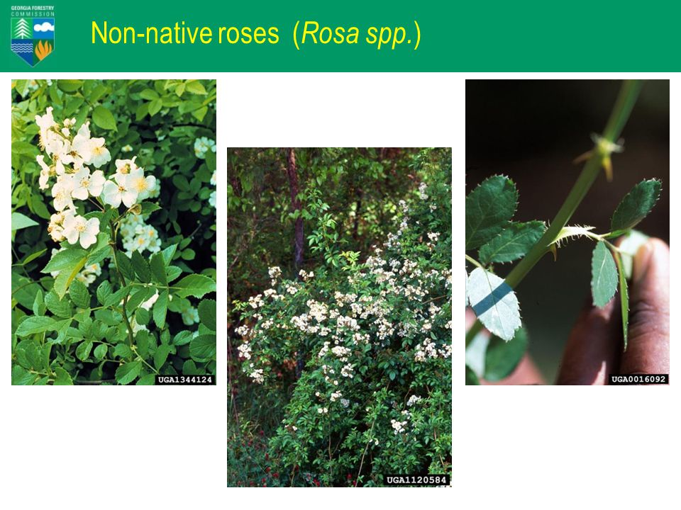 Non-native roses ( Rosa spp. )