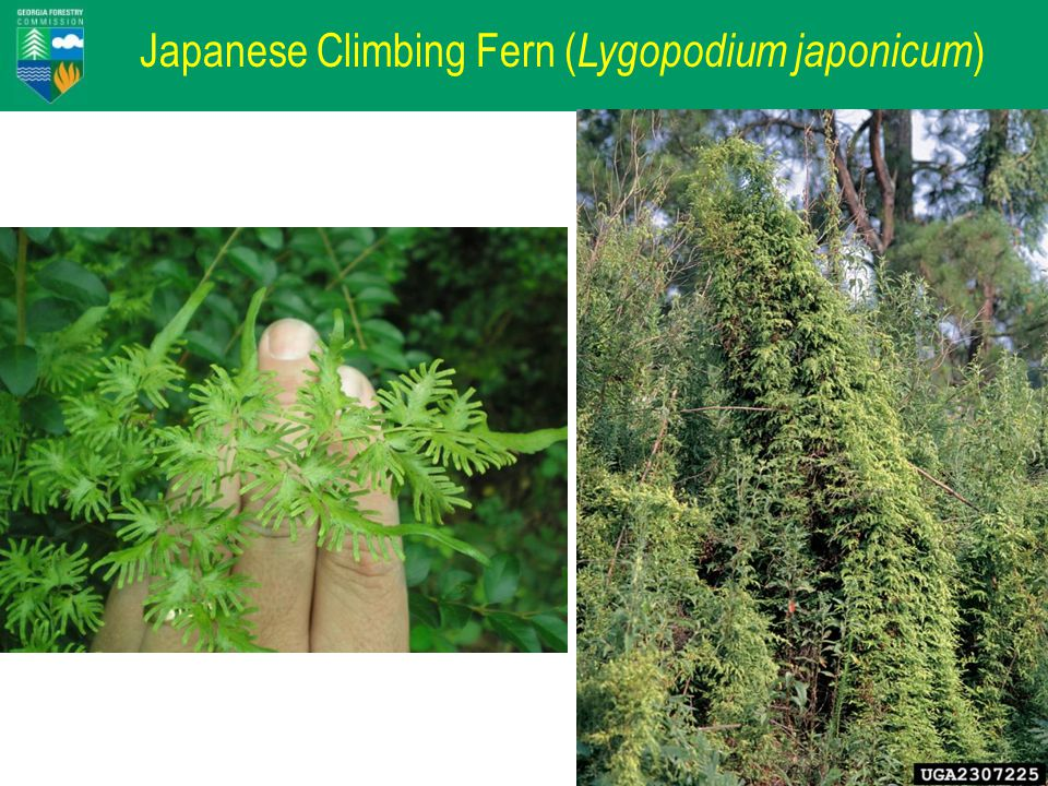 Japanese Climbing Fern Lygodium japonicum Not Detected 50 - 80 20 - 50 10 - 20 < 10 Percent of Subplots In a County Occupied USDA Forest Service SRS FIA database March 2008 Miller and Chambliss, Auburn