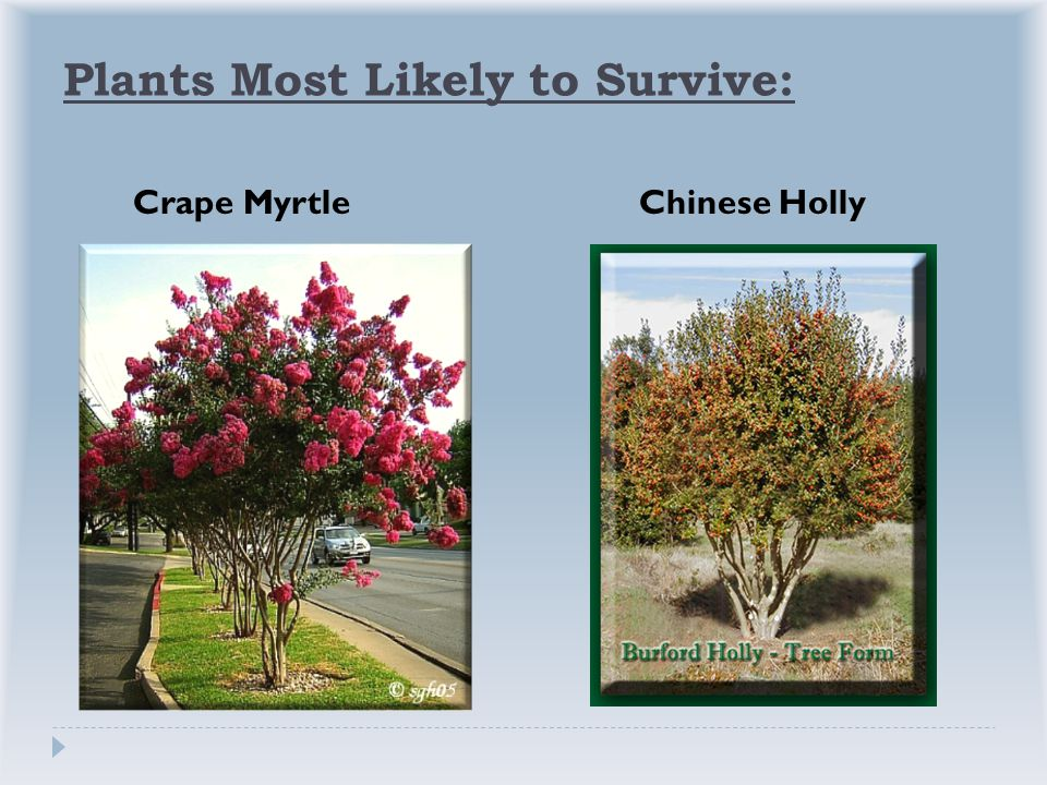 Plants Most Likely to Survive: Crape MyrtleChinese Holly