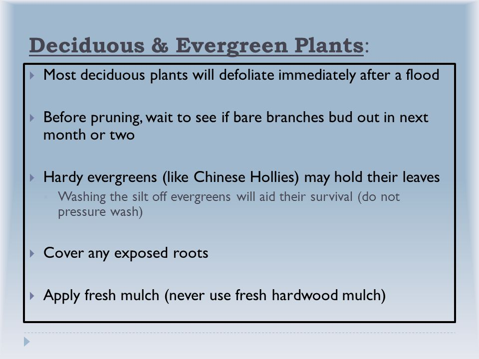 Deciduous & Evergreen Plants :  Most deciduous plants will defoliate immediately after a flood  Before pruning, wait to see if bare branches bud out in next month or two  Hardy evergreens (like Chinese Hollies) may hold their leaves  Washing the silt off evergreens will aid their survival (do not pressure wash)  Cover any exposed roots  Apply fresh mulch (never use fresh hardwood mulch)