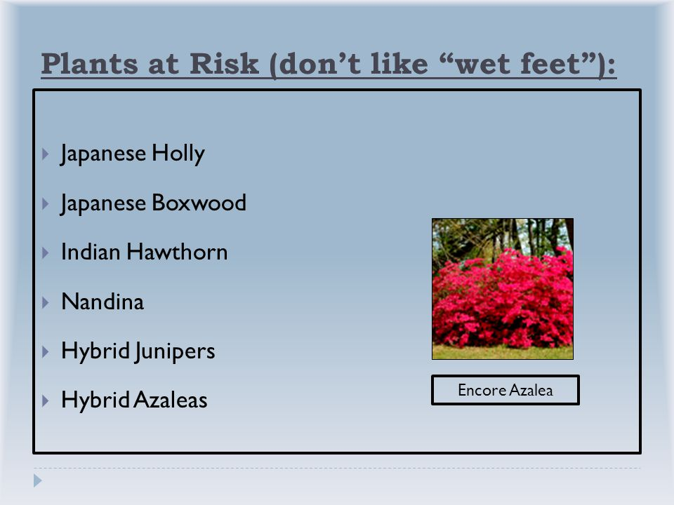 Plants at Risk (don't like wet feet ):  Japanese Holly  Japanese Boxwood  Indian Hawthorn  Nandina  Hybrid Junipers  Hybrid Azaleas Encore Azalea