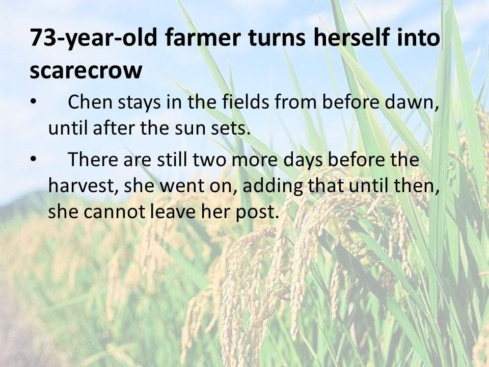 73-year-old farmer turns herself into scarecrow Chen stays in the fields from before dawn, until after the sun sets.