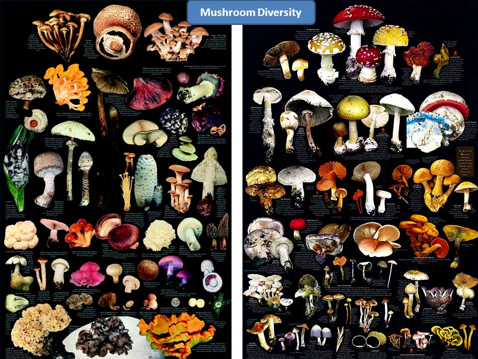 K Mushroom Diversity