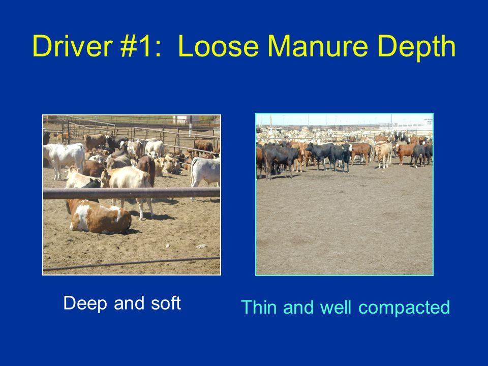 Driver #1: Loose Manure Depth Deep and soft Thin and well compacted